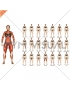 Body muscles. Female. Front view
