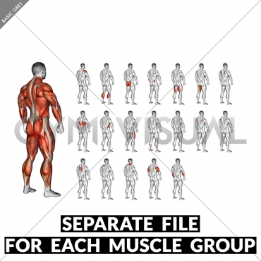 Body muscle. Side back view (male)