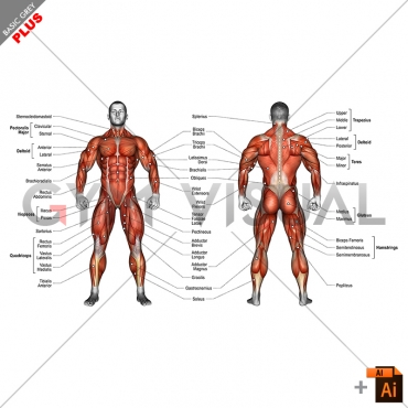 Body muscles (male) - with description