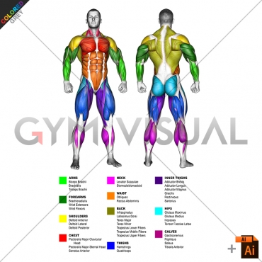 By BODY PARTS Muscle body male (slightly rotate)