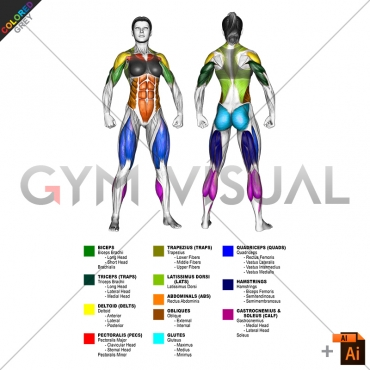 By MAJOR MUSCLE GROUPS Muscle body female (slightly rotate)