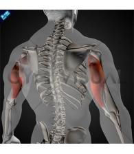 Triceps brachii Long head