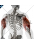 Triceps brachii