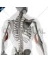 Triceps brachii Medial head